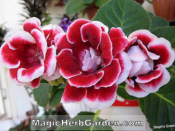 Planter: Gloxinia (Red Bird Gloxinia)