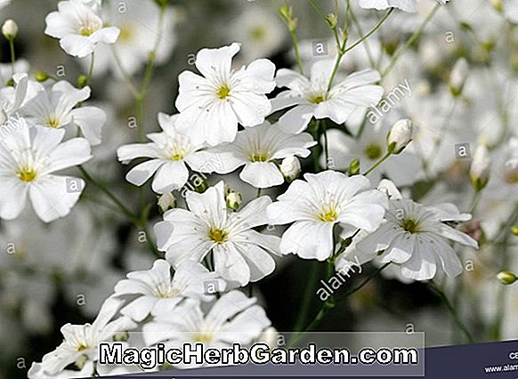 Planter: Gypsophila elegans (Flamingo Babys Breath)