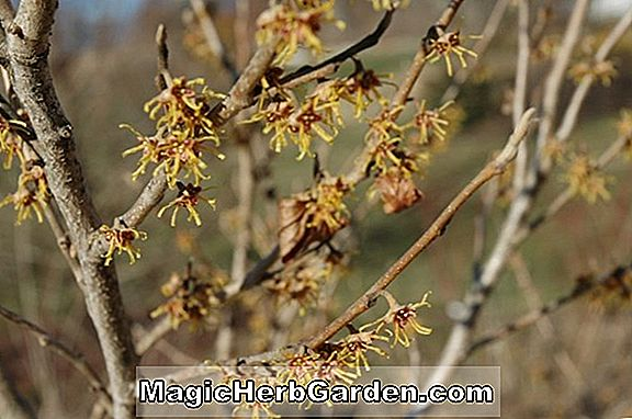 Hamamelis vernalis (Red Imp Witch Hazel)