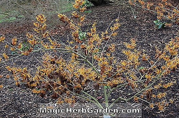 Hamamelis x intermedia (Vezna Witch Hazel)