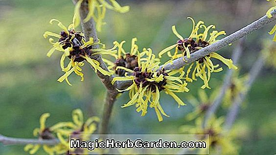 Hamamelis x intermedia (Jelena Witch Hazel)