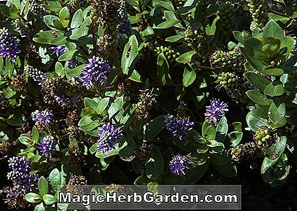 Planter: Hebe Autumn Glory (Autumn Glory Hebe)