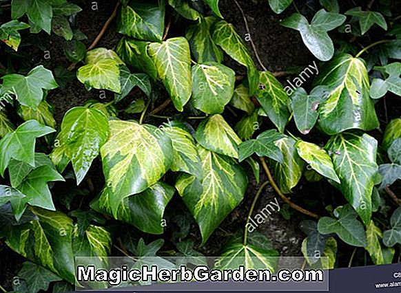 Planter: Hedera colchica (Persisk Ivy)