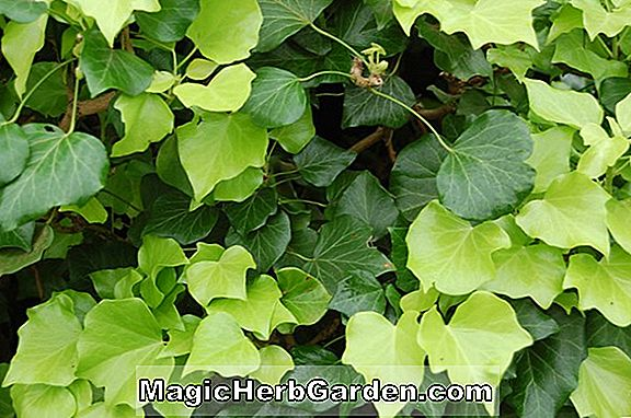 Plantes: Hedera helix (Buttercup English Ivy) - #2