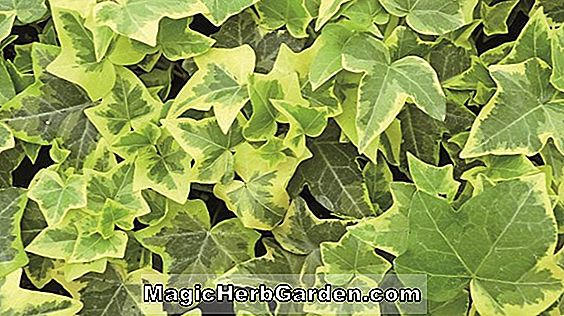 Planter: Hedera helix (Gold Child English Ivy)