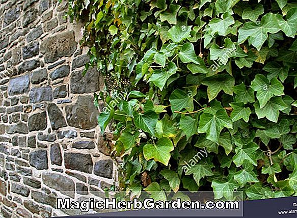 Planter: Hedera helix (Gold Dus English Ivy)
