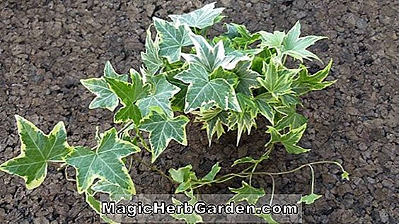 Hedera helix (Helena English Ivy)