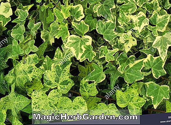 Hedera helix (Jubilee English Ivy)