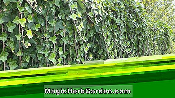 Planter: Hedera helix (Manda Crested English Ivy)