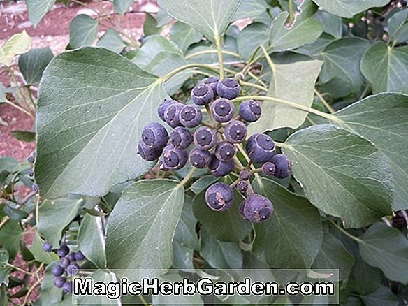 Hedera helix (Maple Leaf English Ivy)