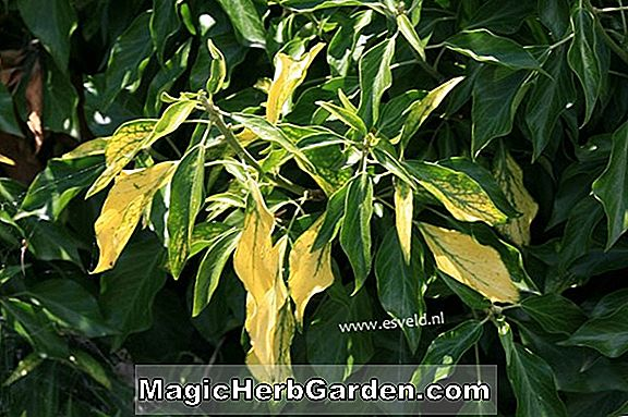 Hedera helix (Angularis Aurea English Ivy)