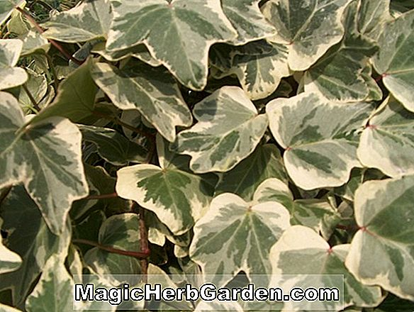 Hedera helix (Schaefer Three English Ivy)