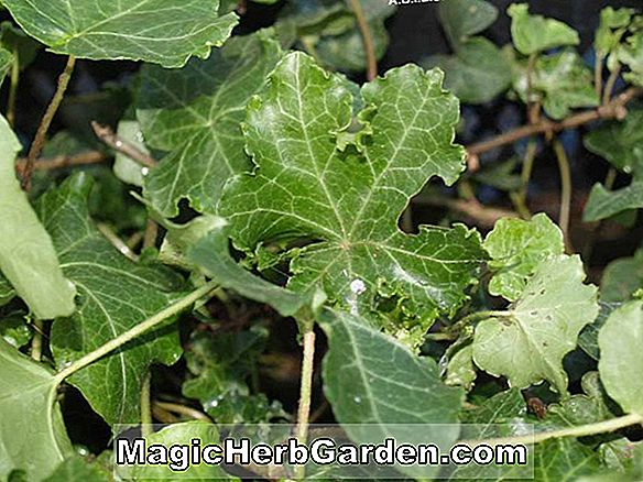 Hedera helix (Persille Crested English Ivy) - #2