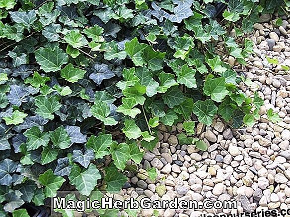 Planter: Hedera helix (Thorndale English Ivy)