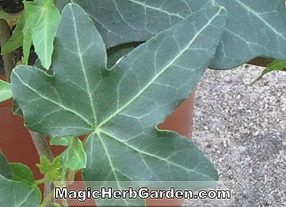 Hedera helix (Asterisk English Ivy)
