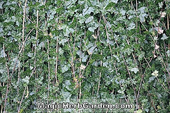 Hedera helix (Boskoop English Ivy)