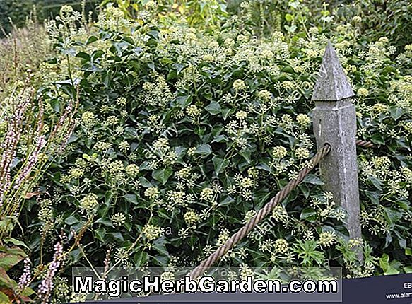 Planter: Hedera helix (Glacier English Ivy) - #2