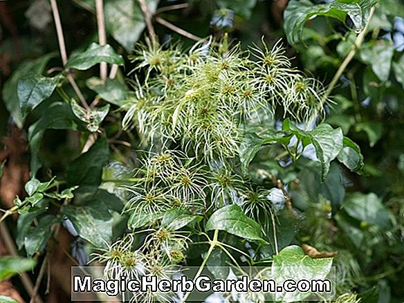 Hedera helix (Mrs. Pollock English Ivy)