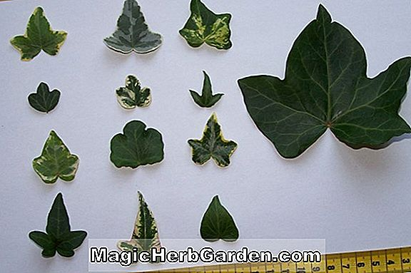 Hedera helix (Adam English Ivy)