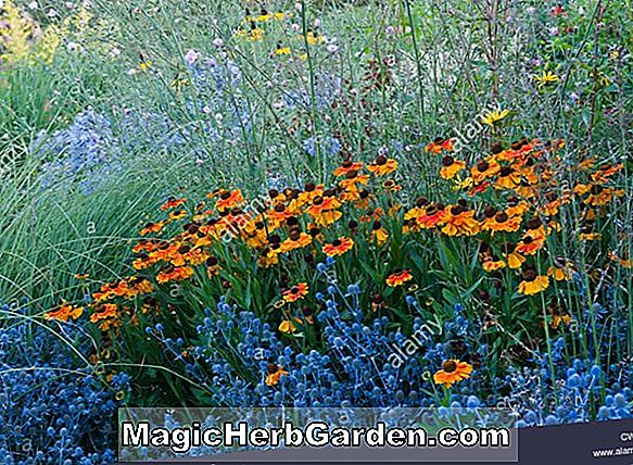 Planter: Helenium (Wyndley Sneezeweed)