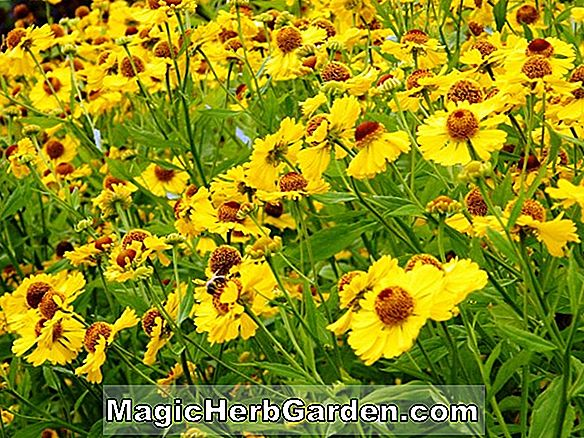 Helenium (Crimson Beauty Sneezeweed)