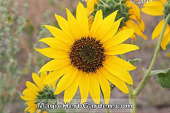 Planter: Helianthus annuus (Arrowhead Sunflower)