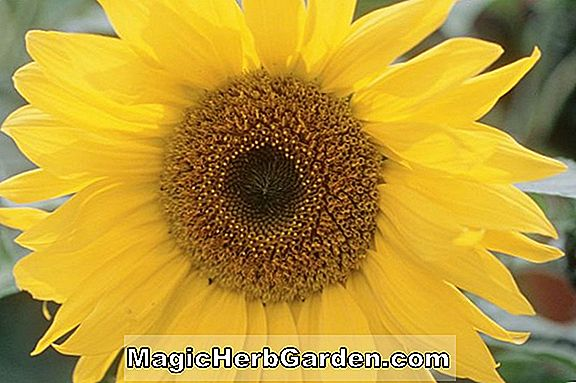 Helianthus annuus (Pacino Sunflower)