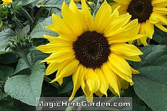 Planter: Helianthus annuus (Sunrich Lemon Sunflower)