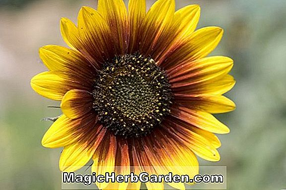 Planter: Helianthus annuus (The Joker Sunflower)