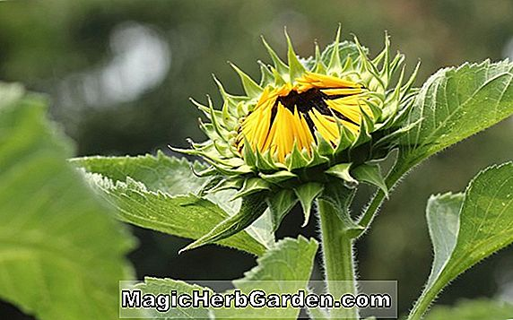 Helianthus annuus (Sunseed Sunflower)