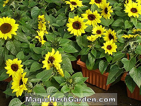 Helianthus annuus (Big Smile Sunflower)