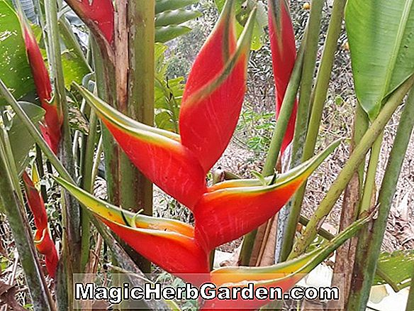 Heliconia bihai (Yellow Dancer Firebird)