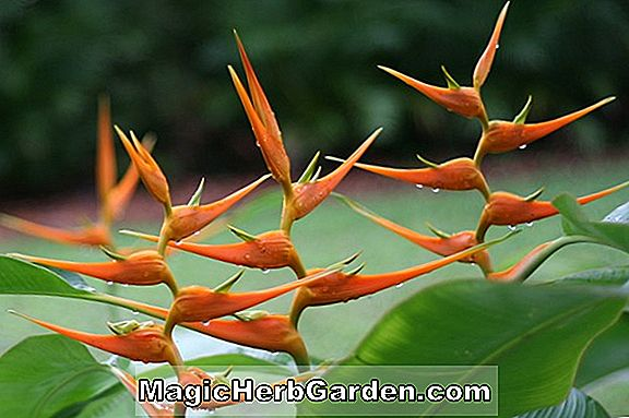 Planter: Heliconia stricta (Stricta Heliconia)