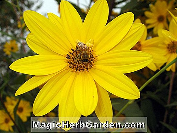 Heliopsis helianthoides (Goldranunkel Ox Eye)