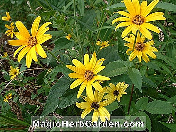 Heliopsis helianthoides (Goldgr | nherz Ox Eye)