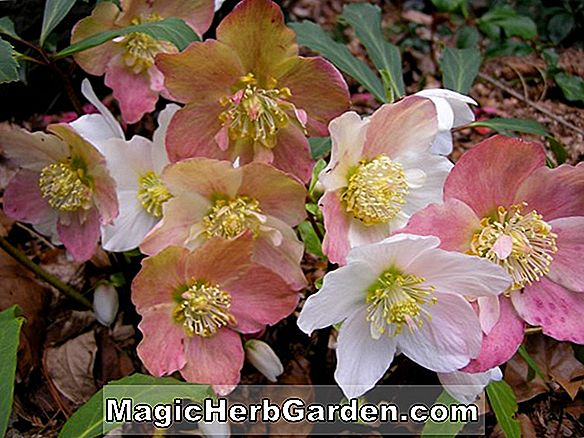 Planter: Helleborus niger (Christmas Rose)