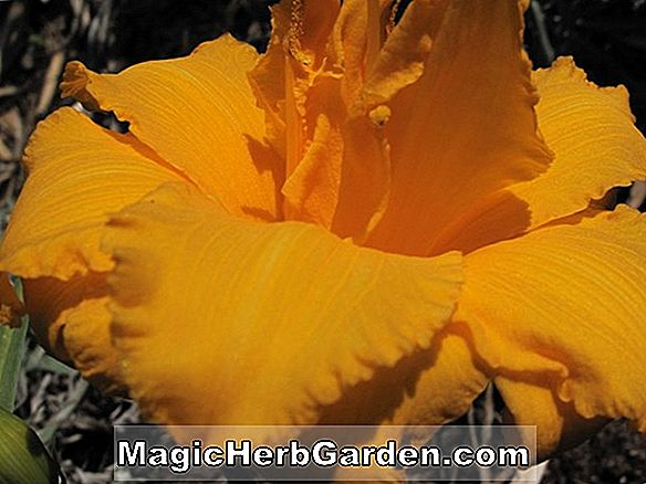 Hemerocallis (Rave On Daylily)