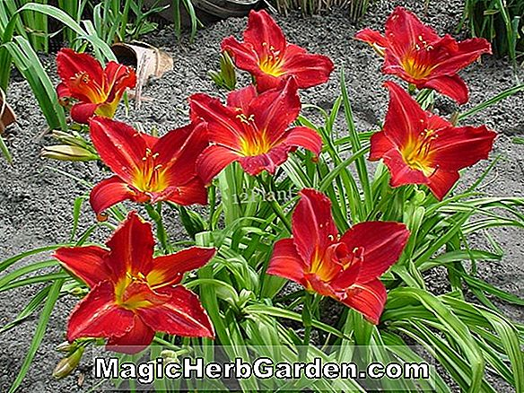 Hemerocallis hybrida (Red Volunteer Daylily)