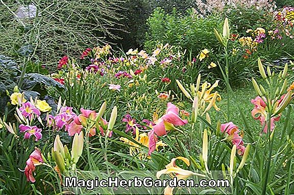 Planter: Hemerocallis hybrida (Love Goddess Daylily)