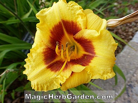 Hemerocallis hybrida (Siloam Tom Howard Taglilie)