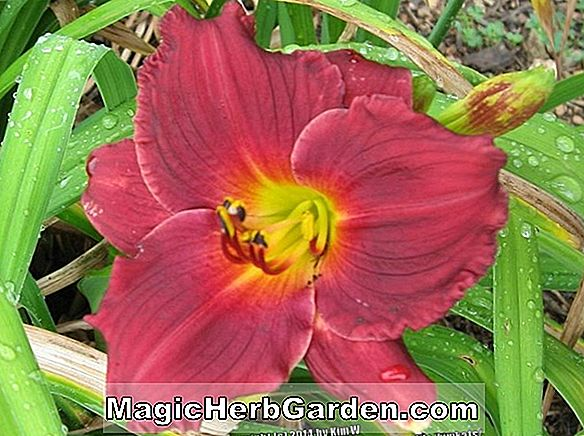 Hemerocallis hybrida (Siloam Little Angel Daylily)