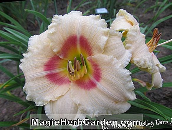 Hemerocallis hybrida (Smoky Mountain Autumn Daylily)