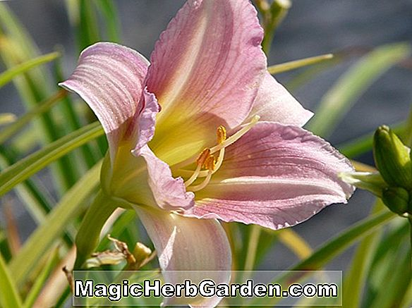 Planter: Hemerocallis hybrida (Strawberry Candy Daylily)