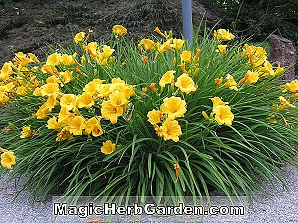 Hemerocallis hybrida (Mort's Magic Daylily)