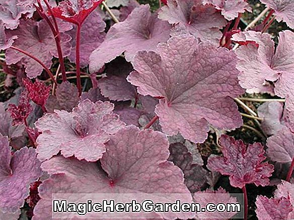 Planter: Heuchera americana (Velvet Night Coral Flower)