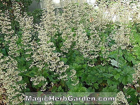Heuchera sanguinea (Apple Blossom Coral Bells)