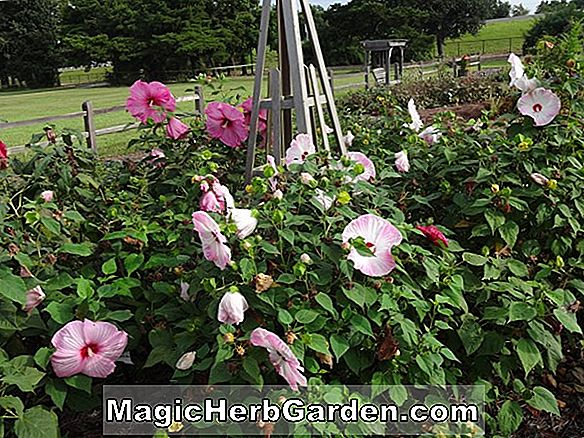 Planter: Hibiscus moscheutos (Lord Baltimore Rose Mallow)