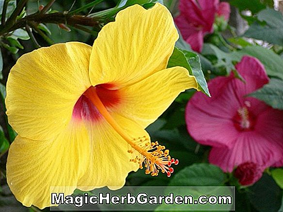Hibiscus rosa-sinesis (Fire Wagon Hibiscus)