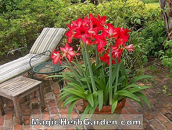 Hippeastrum johnsonii (King Of The Stripes Amaryllis)