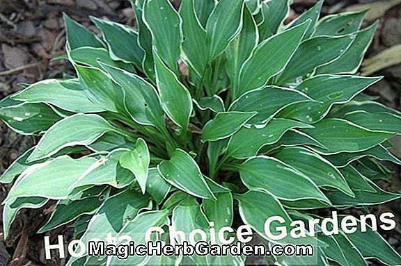 Planter: Hosta (Abby Plantain lily)